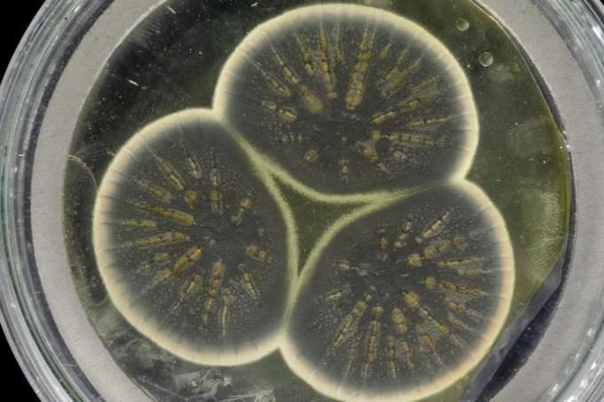 Fungo que deu origem à penicilina tem seu genoma sequenciado