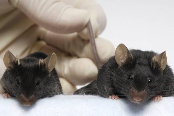 Ratos astronautas retornam à Terra – como eles podem contribuir para a ciência?