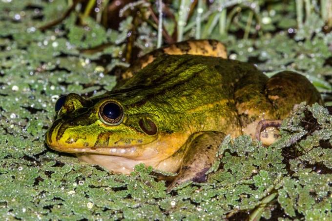 Leptodactylus viridis_Foto Marcelo Sena