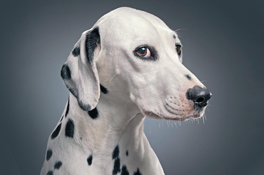 <strong>AMIGÃO ESPERTO – Os milênios de convívio com a gente dotaram os cães com capacidades cognitivas sofisticadas.</strong>