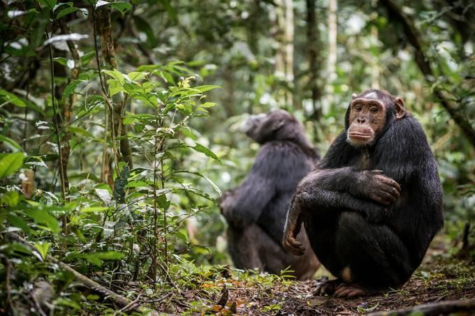 Primeira evidência de chimpanzés com dificuldades para fazer amigos após vida adulta