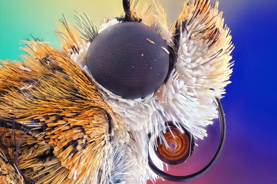 5º lugar: Um close da Agrotis infusa, espécie de traça nativa de Austrália e Nova Zelândia.