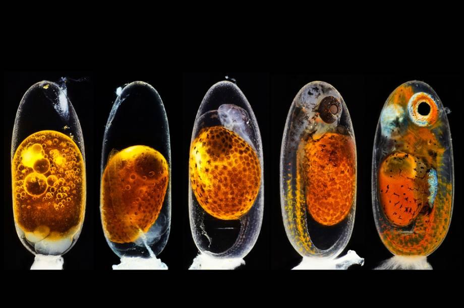 2º lugar: O desenvolvimento embrionário de um peixe-palhaço (Amphiprion percula): dias 1, 3, 5 e 9