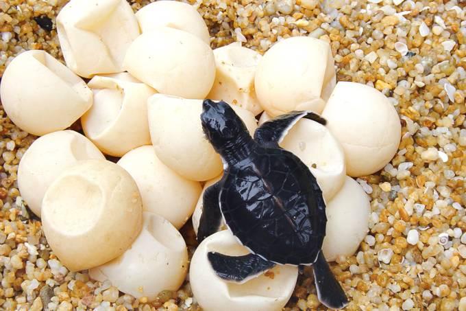 Ovos falsos com GPS são nova aposta para proteger tartarugas