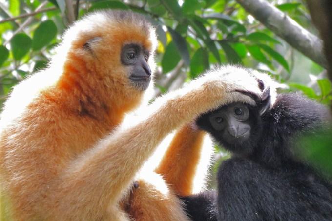 Como pontes de cordas podem salvar primata da extinção