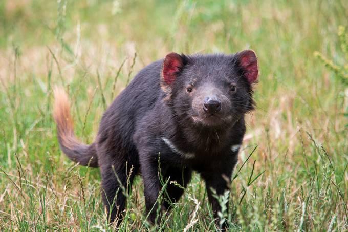 Diabo da Tasmânia é reintroduzido à Austrália continental após 3 mil anos
