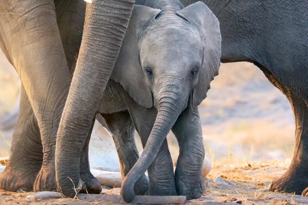 A imagem mostra um elefante bebê, entre as pernas de elefantes maiores.