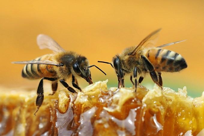 Mapa das abelhas, embargado da Science