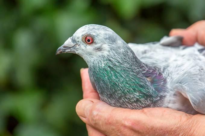 O mercado milionário de corridas de pombo na Bélgica