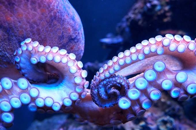 O mecanismo que permite que polvos sintam gosto usando seus tentáculos