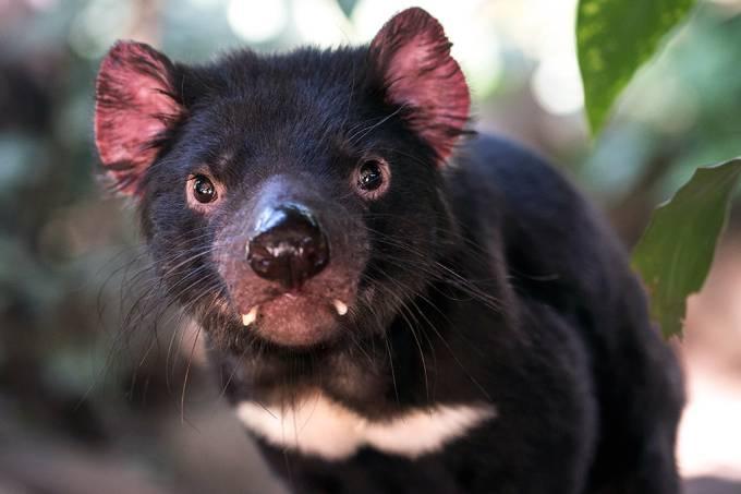 Diabos da tasmânia podem estar se salvando da extinção