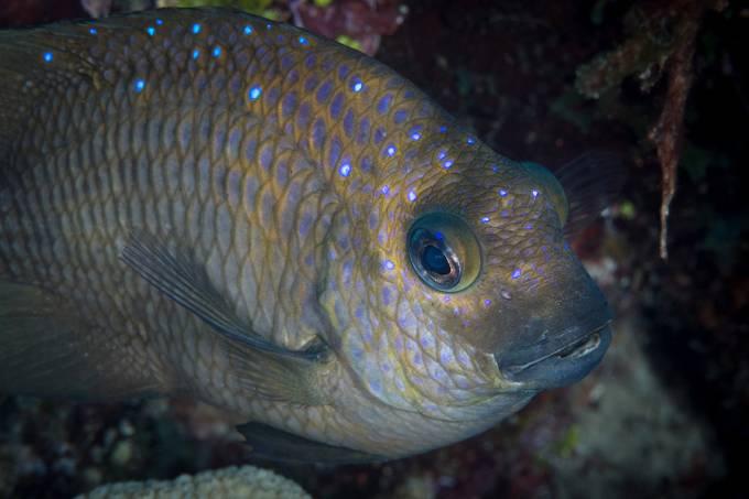 Espécie de peixe domesticou camarões – e os faz trabalhar para ela