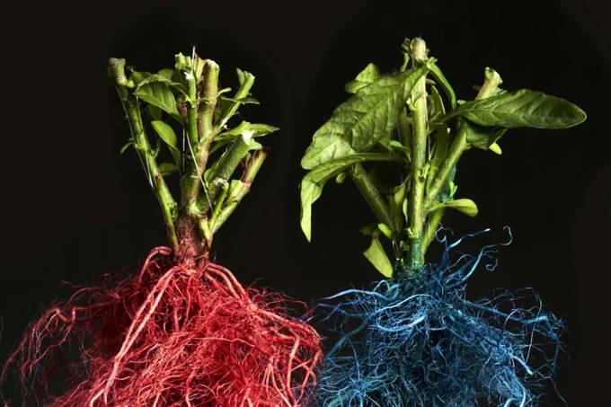 Vídeo mostra como raízes de plantas vizinhas competem por espaço