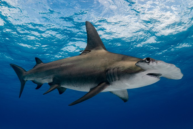 A maioria das espécies de tubarão de alto mar está em extinção