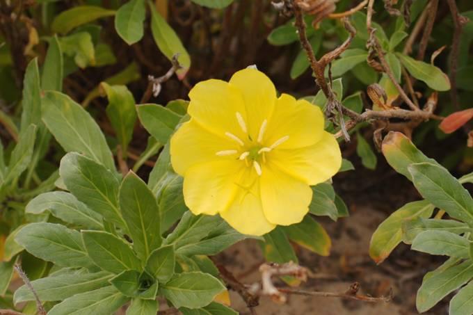 Oenothera-drummondii_site