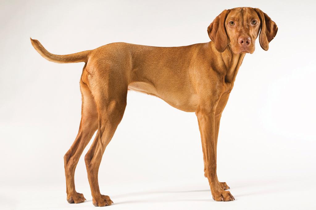 <strong>Vizsla, o cão estatal.</strong>