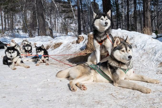 Caçadores siberianos da era do gelo podem ter domesticado cães há 23.000 anos