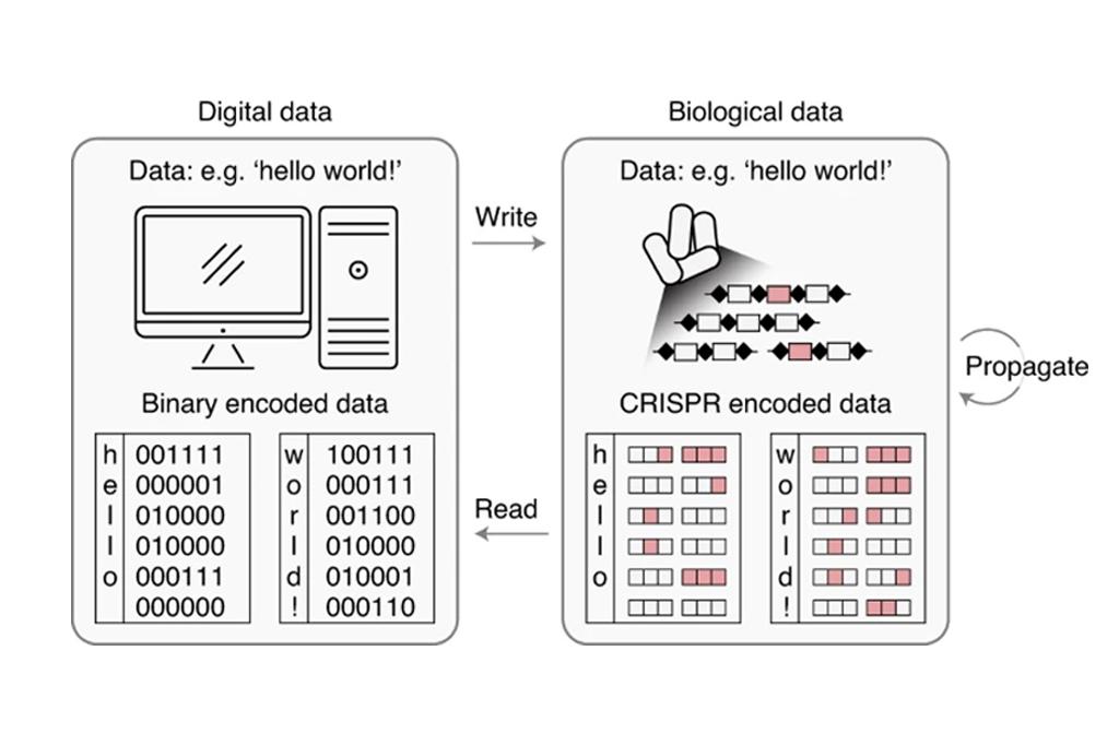 Figura ilustrando como funciona a 'programação' das bactérias.
