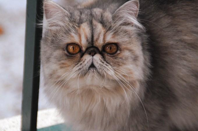 """Gatos de """"cara achatada"""" têm dificuldade em expressar emoções – e a culpa é dos humanos"""