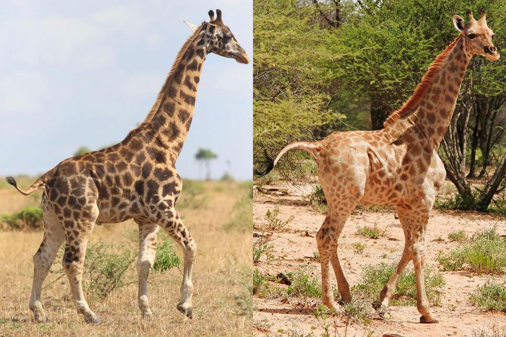 Montagem de duas fotos de girafas anãs.