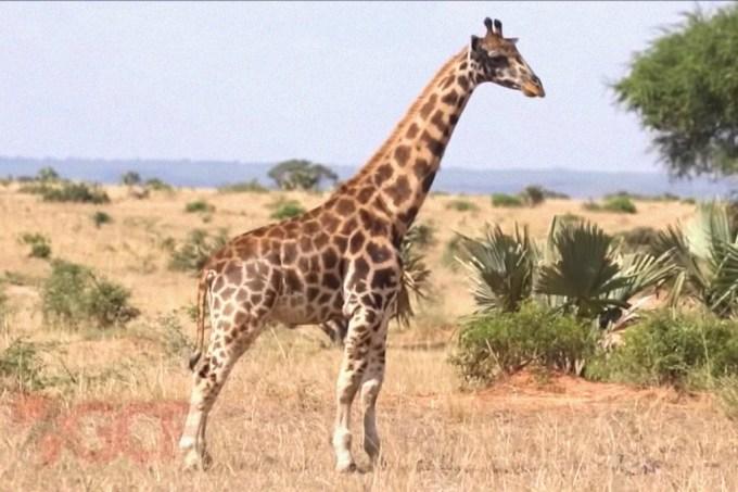 Cientistas reportam nanismo em girafas pela primeira vez