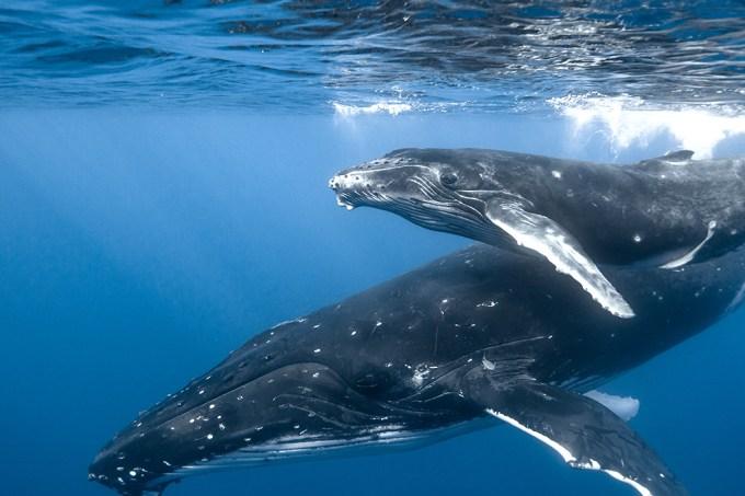 Baleias retornam às regiões polares após 40 anos