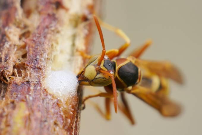 Assim como os humanos, as vespas também parecem reconhecer rostos, indica estudo