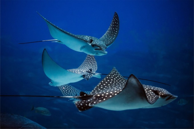 70% da populacao global de tubaroes e arraias desapareceu desde 1970