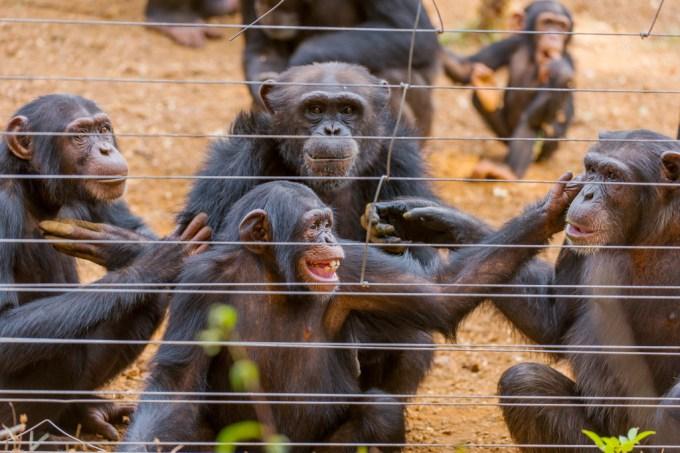 Cientistas podem ter descoberto bactéria misteriosa que está matando chimpanzés na África