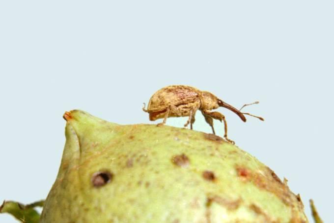 Bzzzzzzz | Plantas mandam sinal de SOS químico quando são atacadas por insetos
