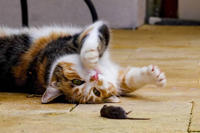 Cientistas mostram como diminuir instinto caçador de seus gatos