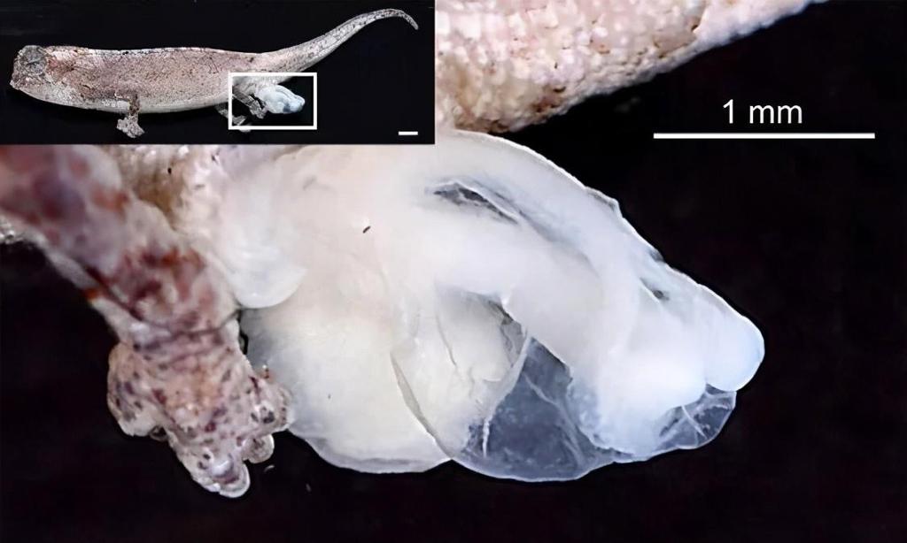 Os órgãos genitais do camaleão medem cerca de 19% do comprimento do corpo quando totalmente evertidos.