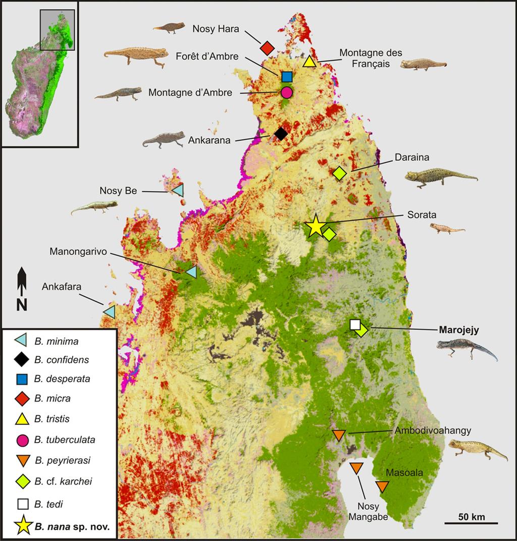 Mapa do norte de Madagascar, mostrando a distribuição de espécies do subgênero Evoluticauda (conhecido como grupo Brookesia minima ) nesta região.