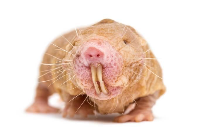 Colônias de ratos-toupeira-pelado possuem dialeto próprio definido por sua rainha