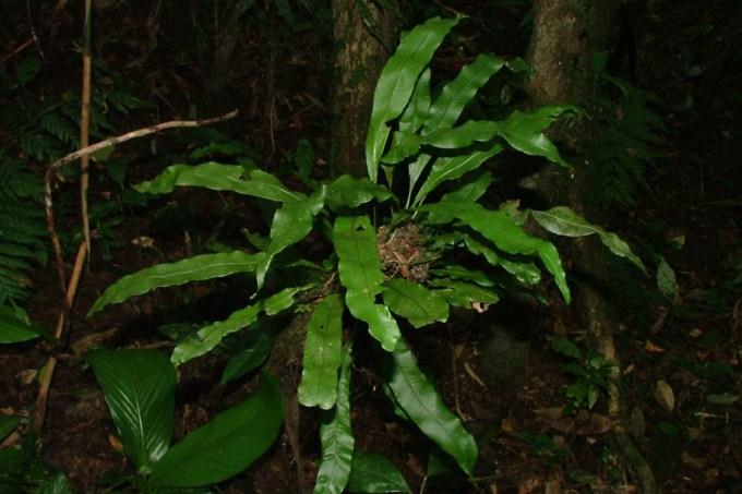 Pesquisador brasileiro descobre seis novas espécies de samambaias