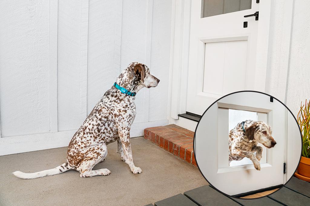 Dálmata sentado em frente à portinha myQ Pet Portal, do lado de fora da casa. Numa pequena imagem dentro da foto, vemos o cão atravessando a portinha aberta.