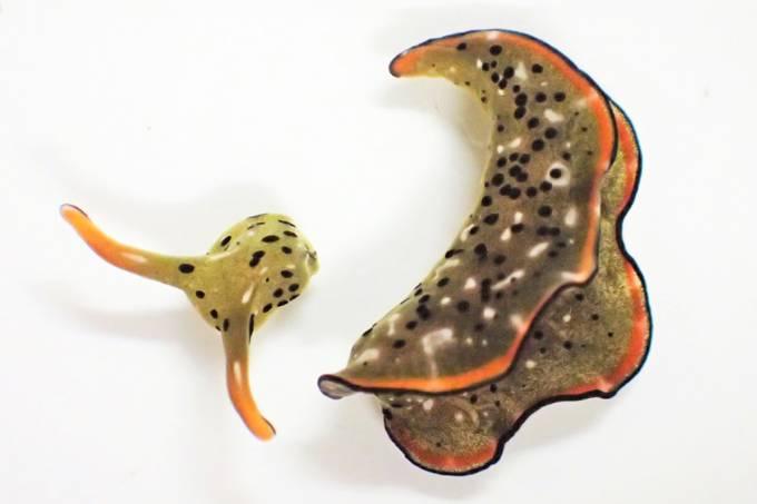 Lesma marinha decapta a própria cabeça e regenera um corpo novo a partir dela