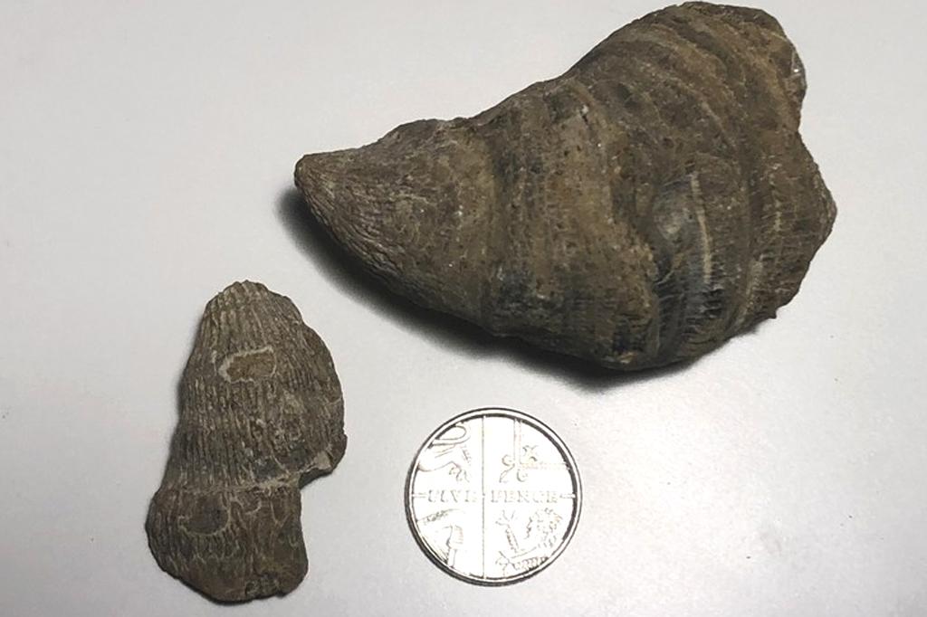 Foto do fóssil encontrado pelo Siddak Singh Jhamat.