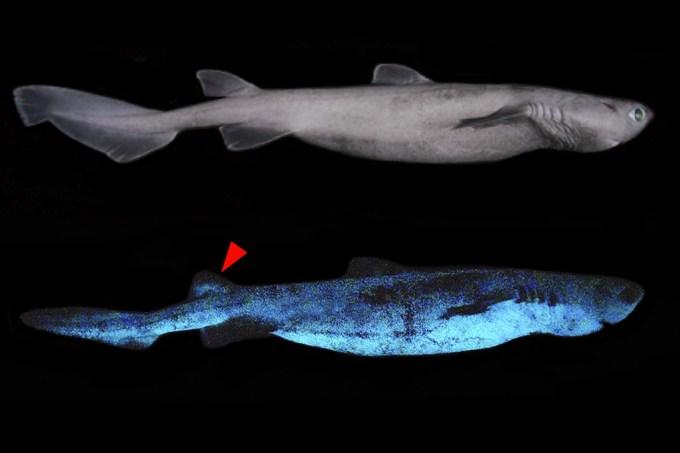 tubaroes-brilhantes_site