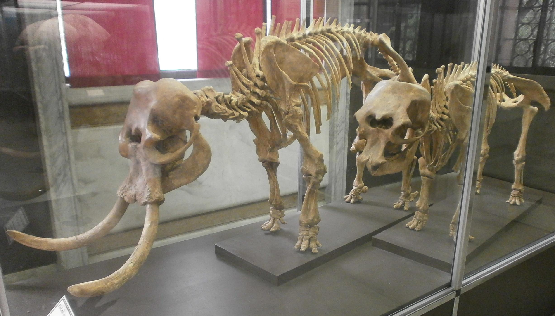 Esqueleto do Palaeoloxodon falconeri, espécie extinta das ilhas mediterrâneas
