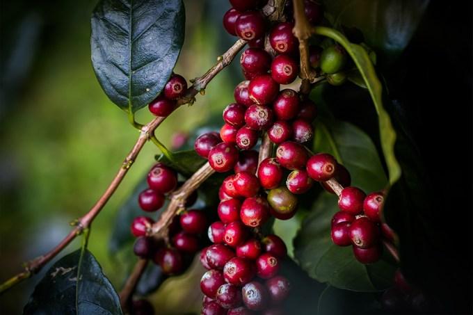 No futuro, teremos menos variedades de café – e a culpa é das mudanças climáticas
