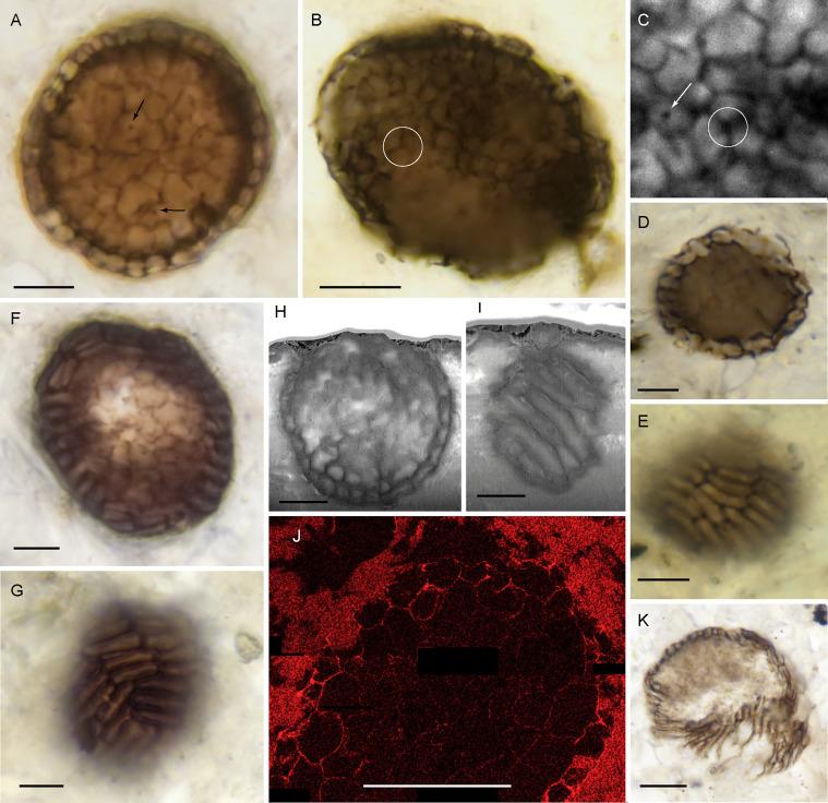Bicellum brasieri. (Strother et al., Curr. Biol., 2021)