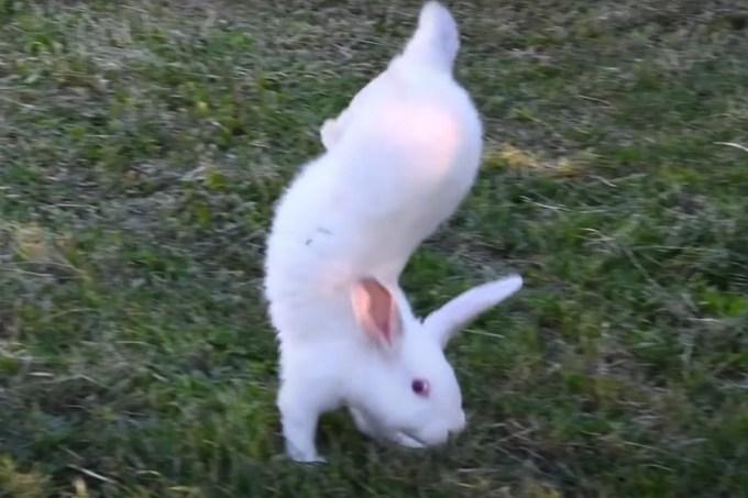 Esse coelho só anda com as patas dianteiras – e agora cientistas sabem o porquê