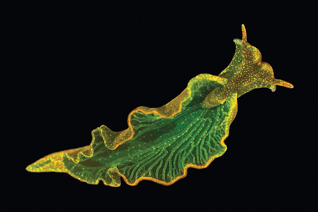 A lesma E. chlorotica absorve os cloroplastos das algas que come. E se torna capaz de fazer fotossíntese.