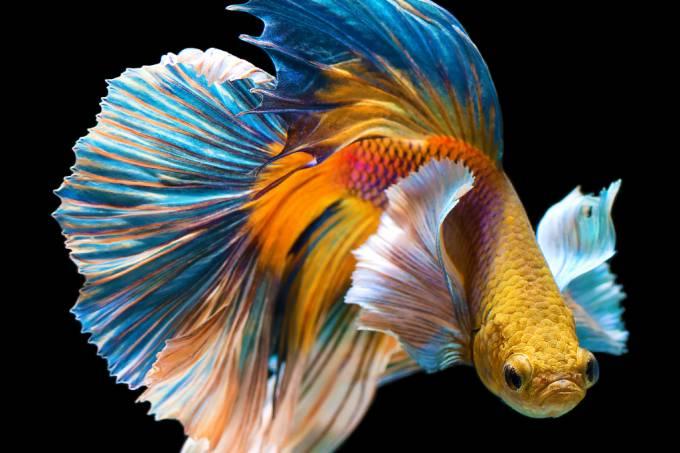 Uma breve história do peixe Betta