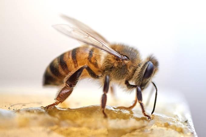Cientistas treinam abelhas para farejar Covid-19