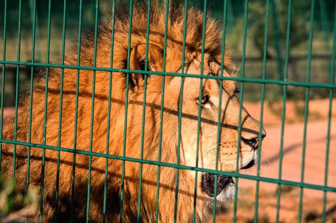 África do Sul anuncia plano para acabar com a criação de leões em cativeiro