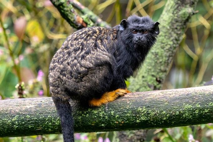 """Macacos adotam """"sotaques"""" para se comunicar com espécies de outros territórios"""