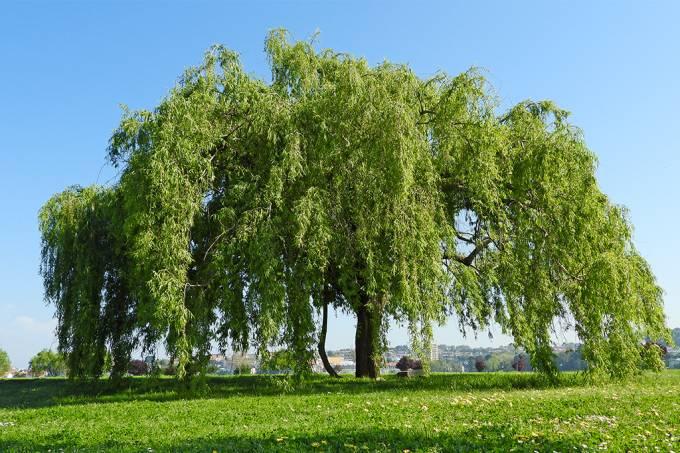 Pólen das árvores ajuda a espalhar o Sars-CoV-2