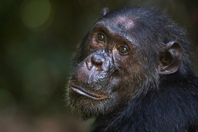 Novo tratamento interrompe a progressão da doença de Alzheimer em cérebros de macacos
